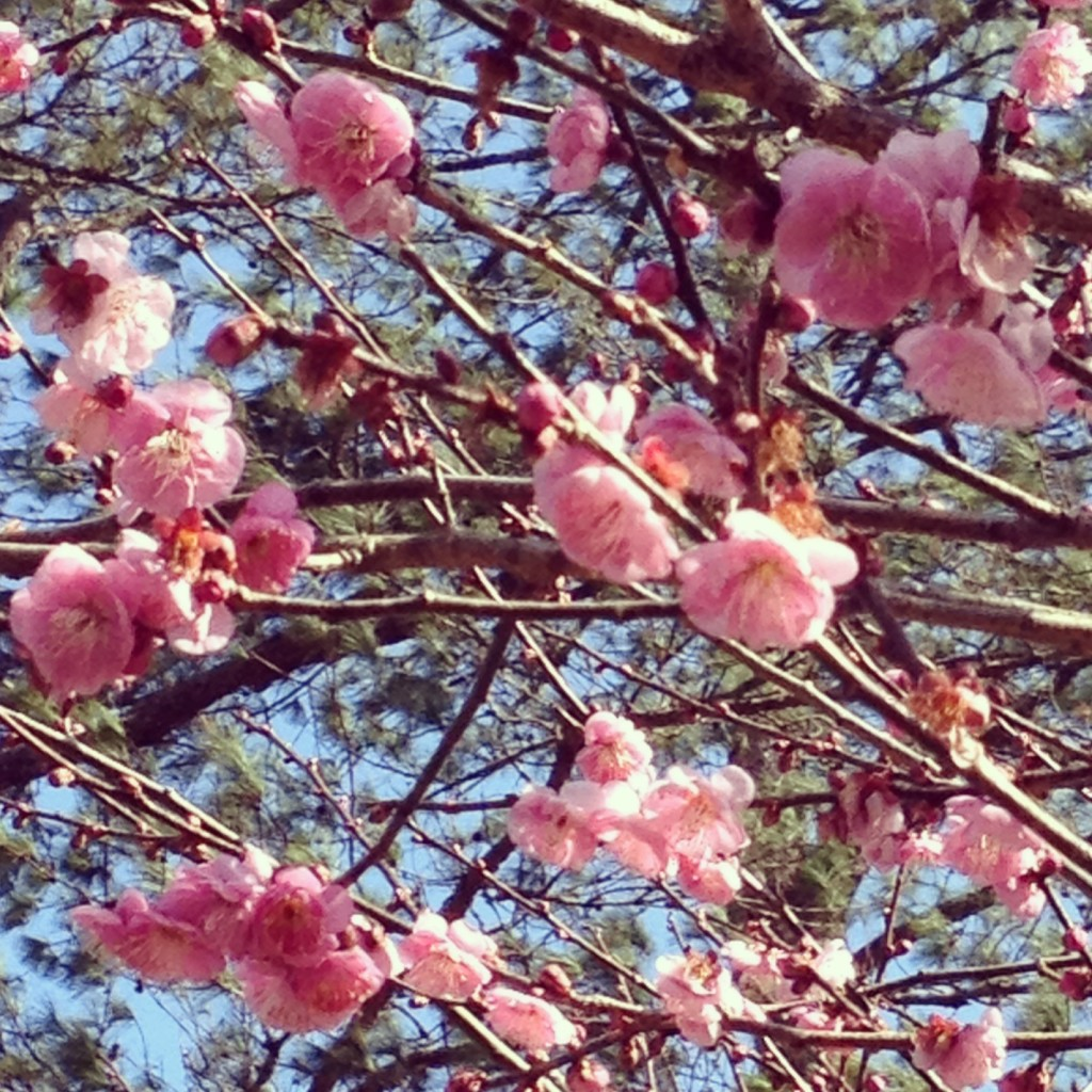 Beautiful cherry blossoms that surprised us last December!
