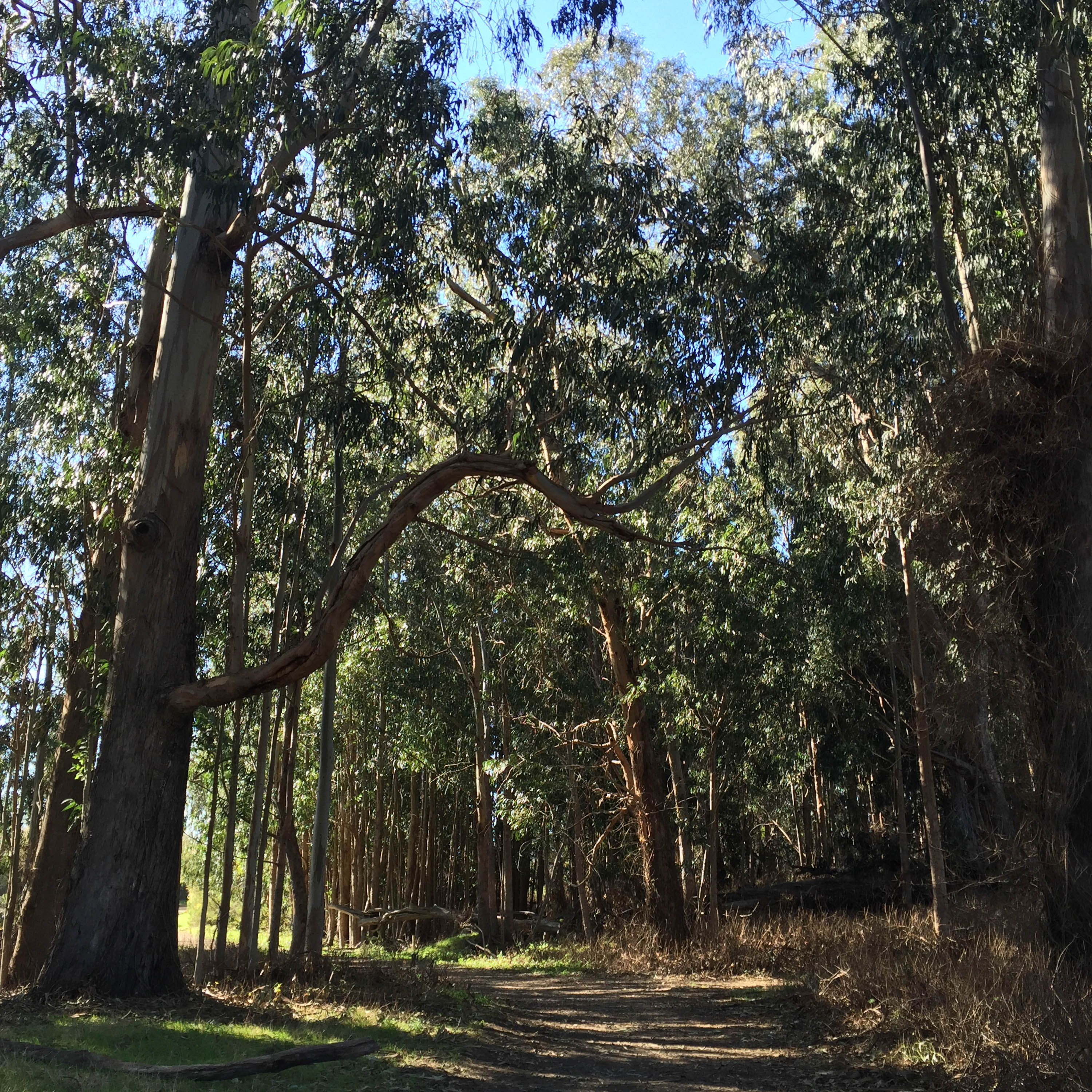 A Eucalyptus grove-- the most lovely natural scent!