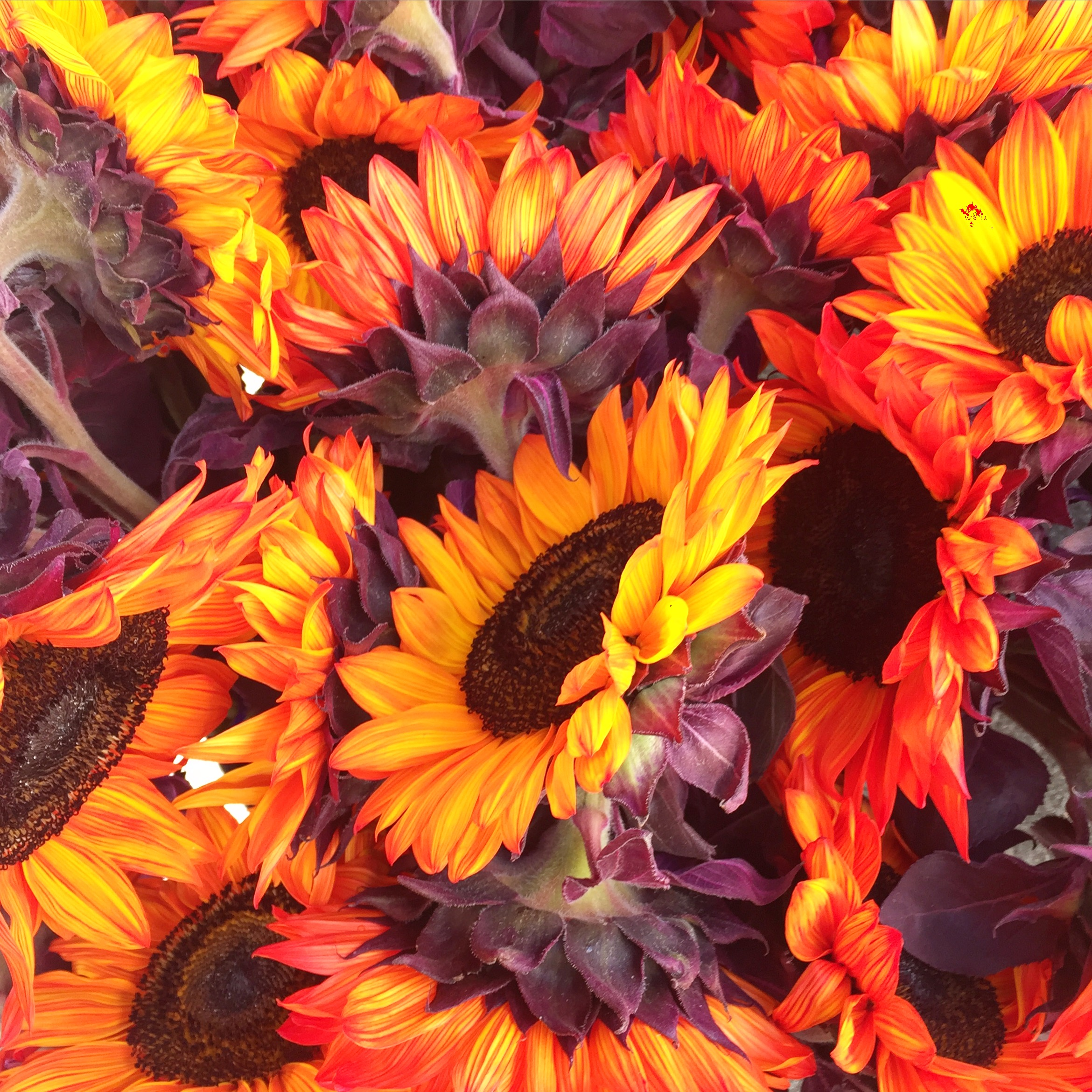 Fall colored sunflowers