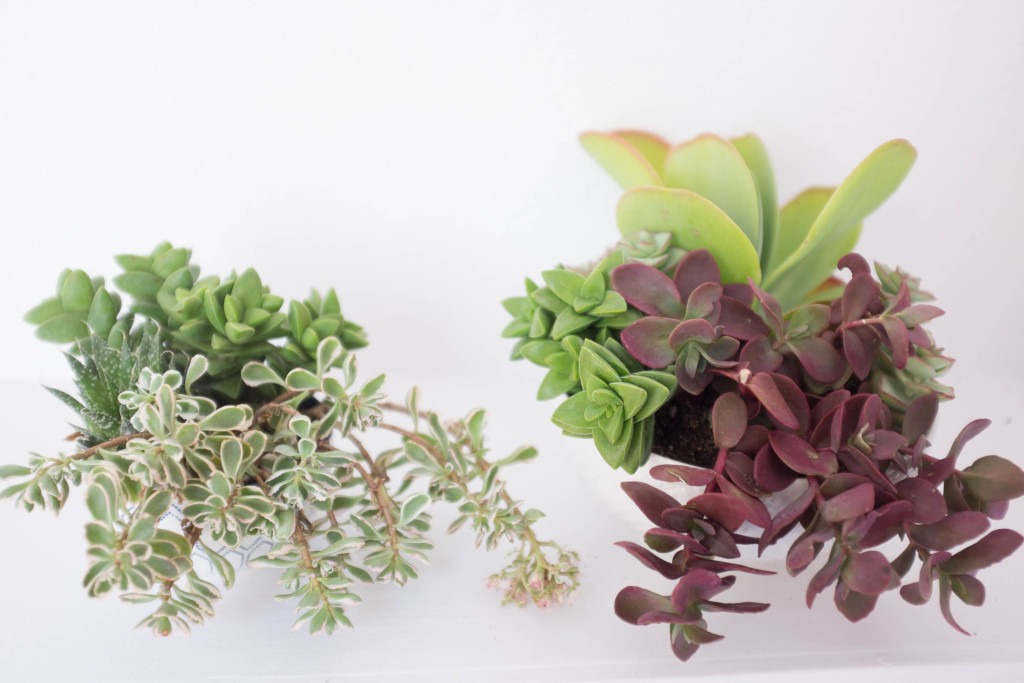 How to plant a succulent garden in a bowl- final arrangements
