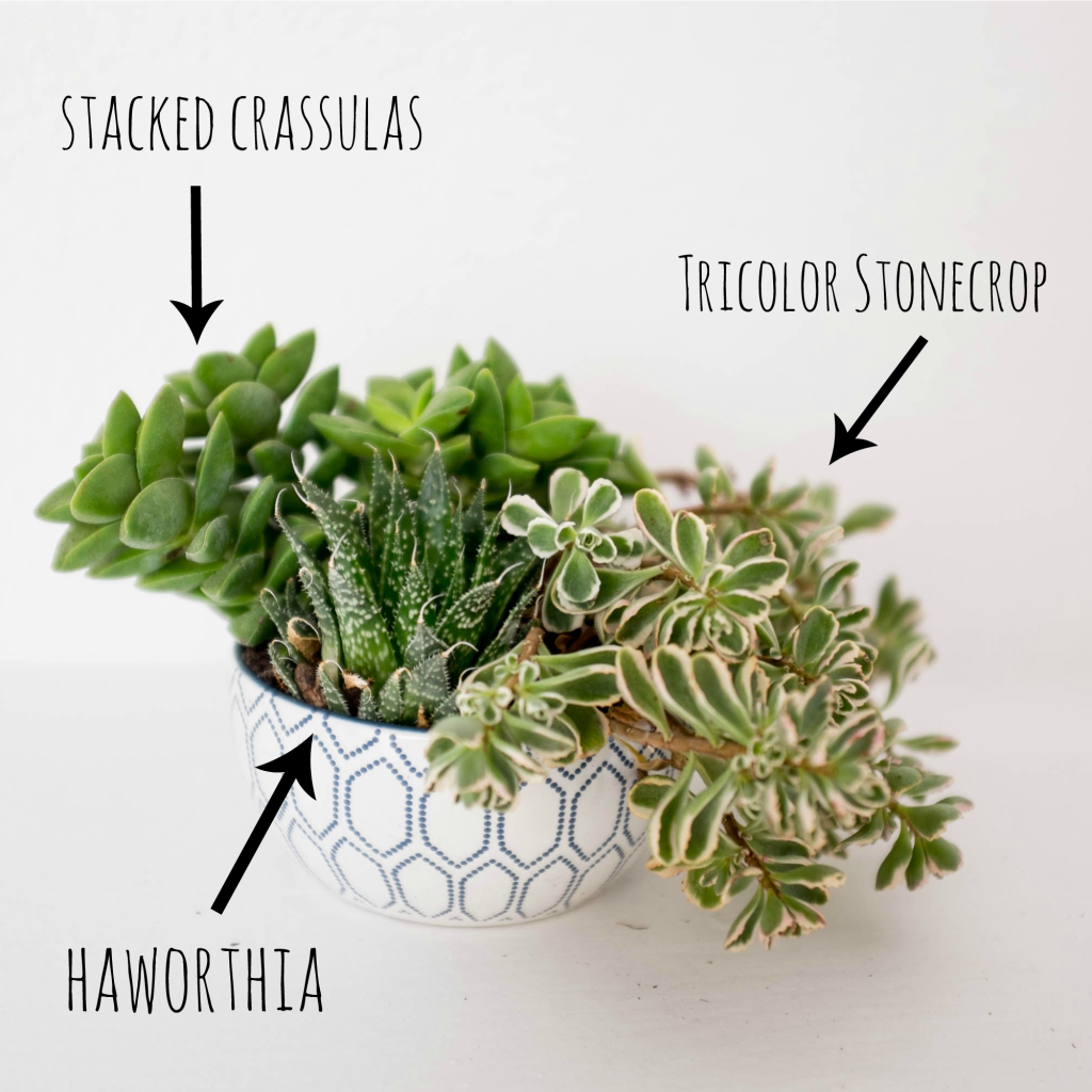 How to plant a succulent garden in a bowl- stonecrop haworthia and crassula
