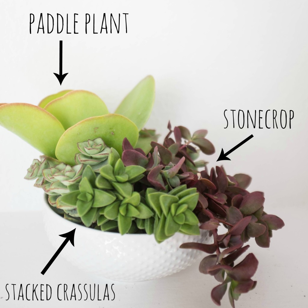 How to plant a succulent garden in a bowl- succulents used